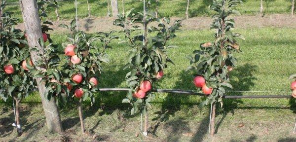 Колоновидные яблони правильная посадка и уход