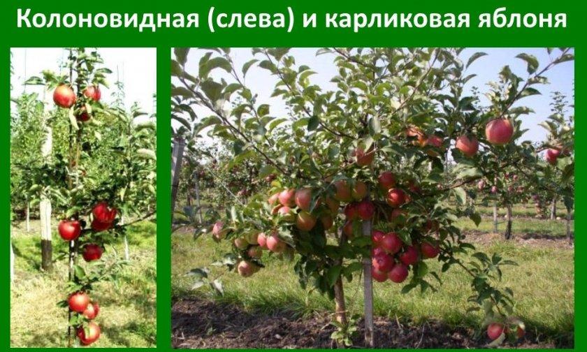 Колоновидная и карликовая яблони