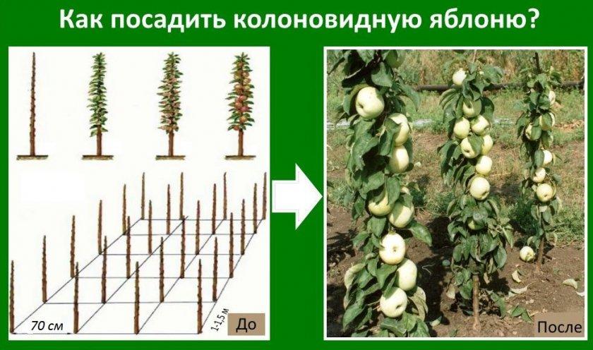 Схема посадки колоновидной яблони