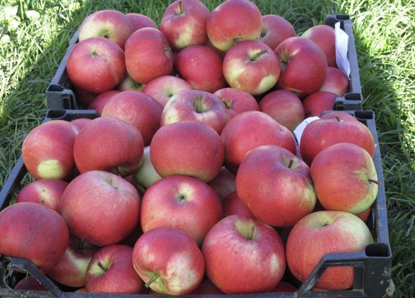 яблоня веньяминовское характеристика сорта фото любите заглянуть