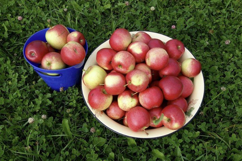 Яблоки Веньяминовское