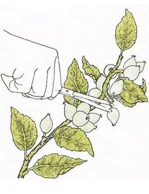 Удаление лишних завязей на яблони