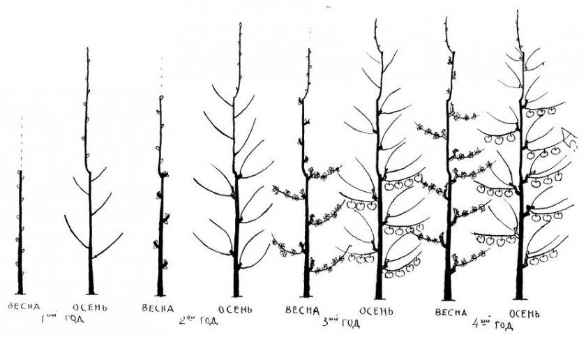 Формирование завязей колоновидной яблони