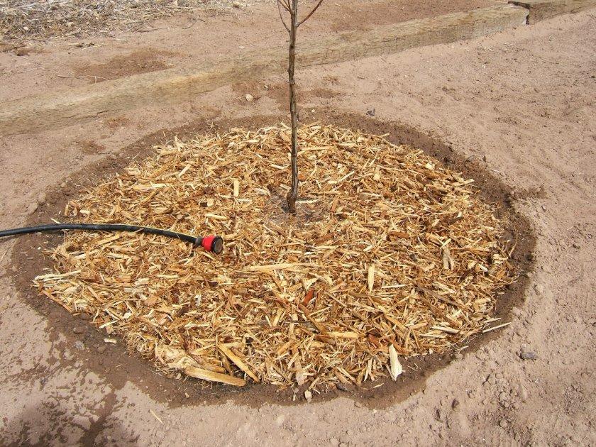 Мульчированый приствольный круг яблони