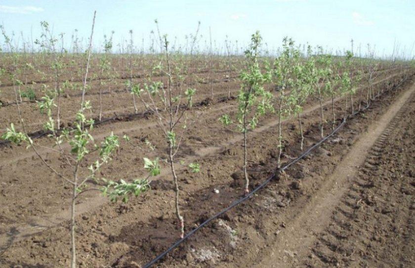 Капельный полив колоновидных яблонь