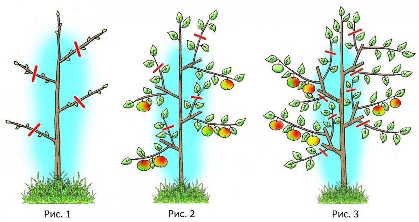 Формировка колоновидной яблони