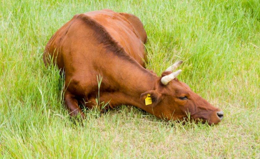 У коровы стал желудок