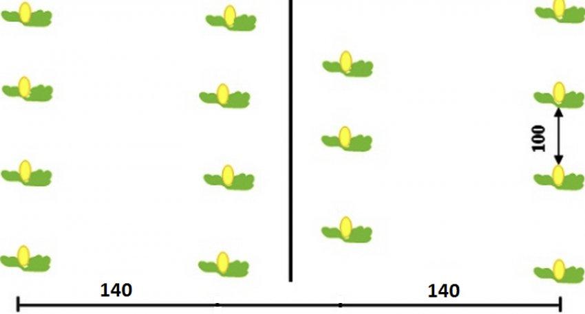Схема посадки арбузов