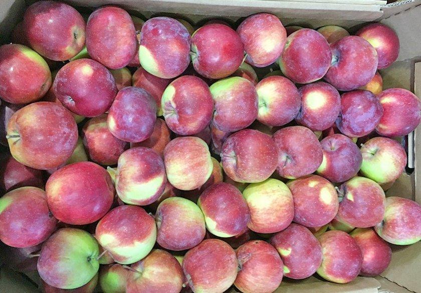 Урожай яблок сорта Спартан