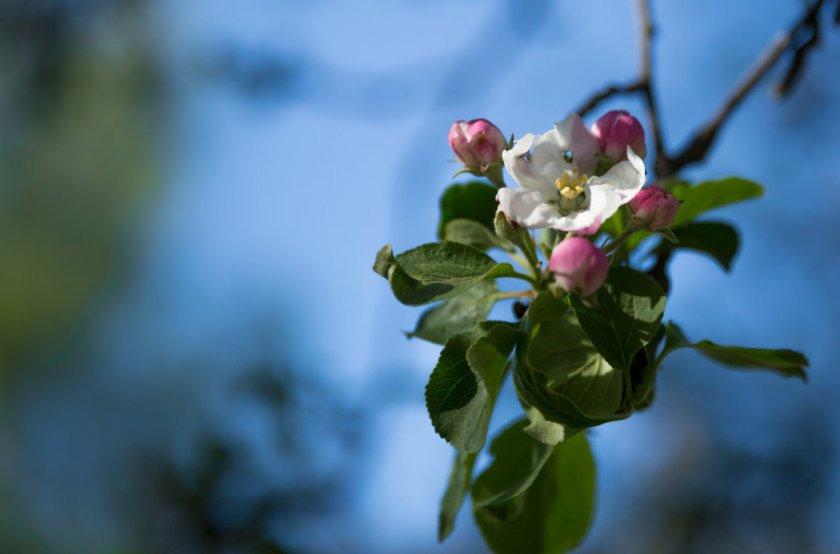 Цветение яблони Спартан