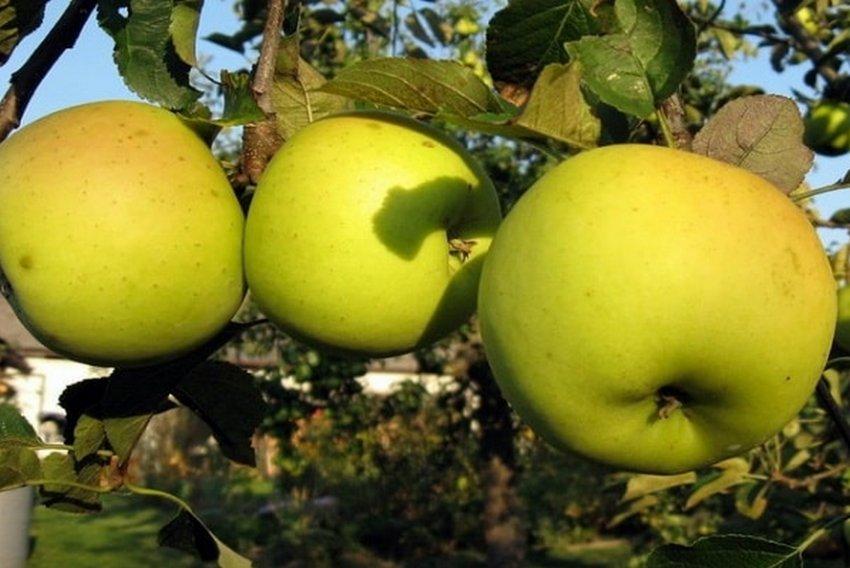 Яблоня Зимний банан