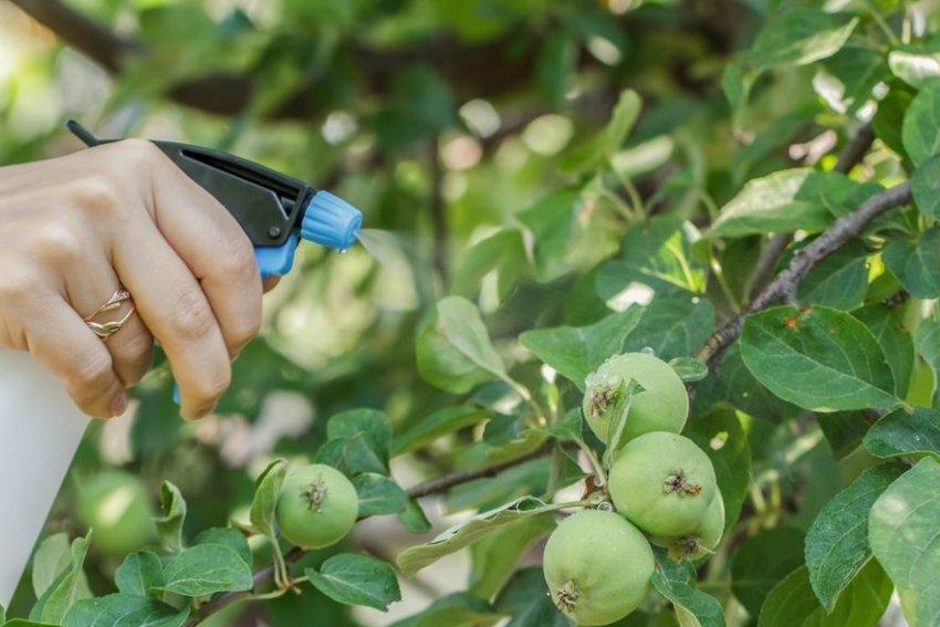 Опрыскивание яблони во время цветения