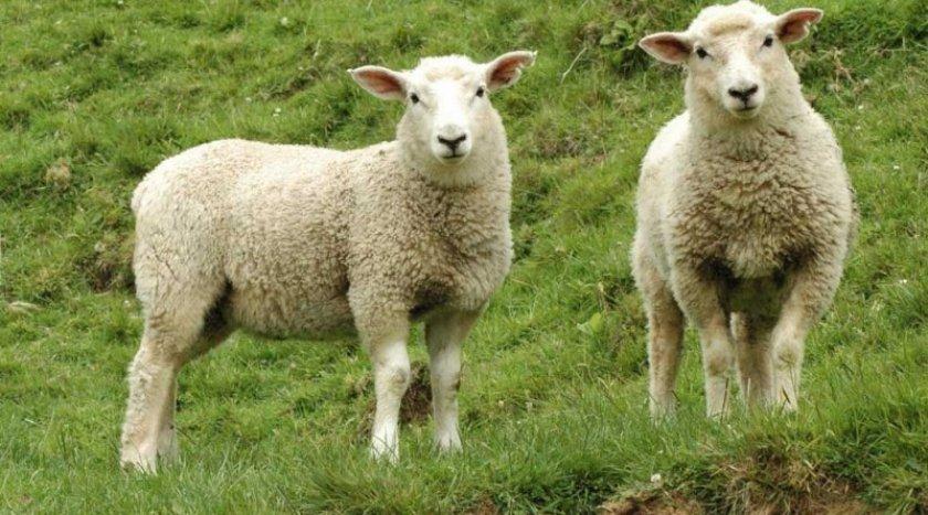 Замороженную сперму баранов успешно использовали для оплодотворения овец