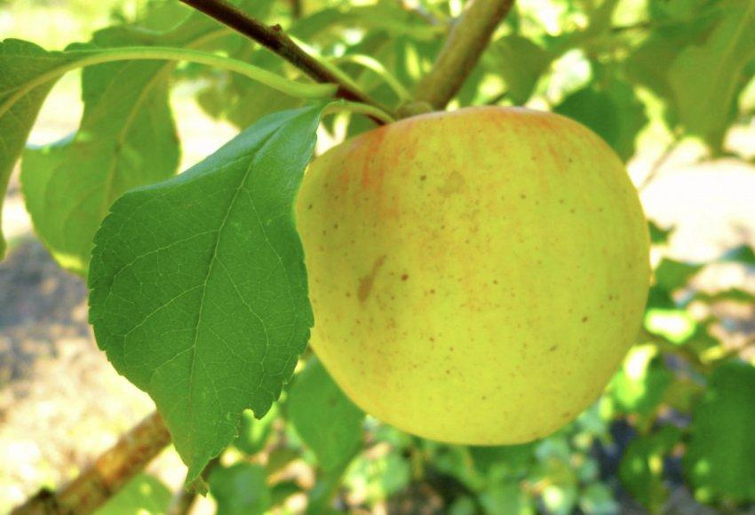 Достоинства яблони Скифское золото