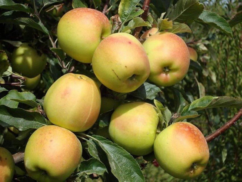 Яблоня сорта Скифское золото