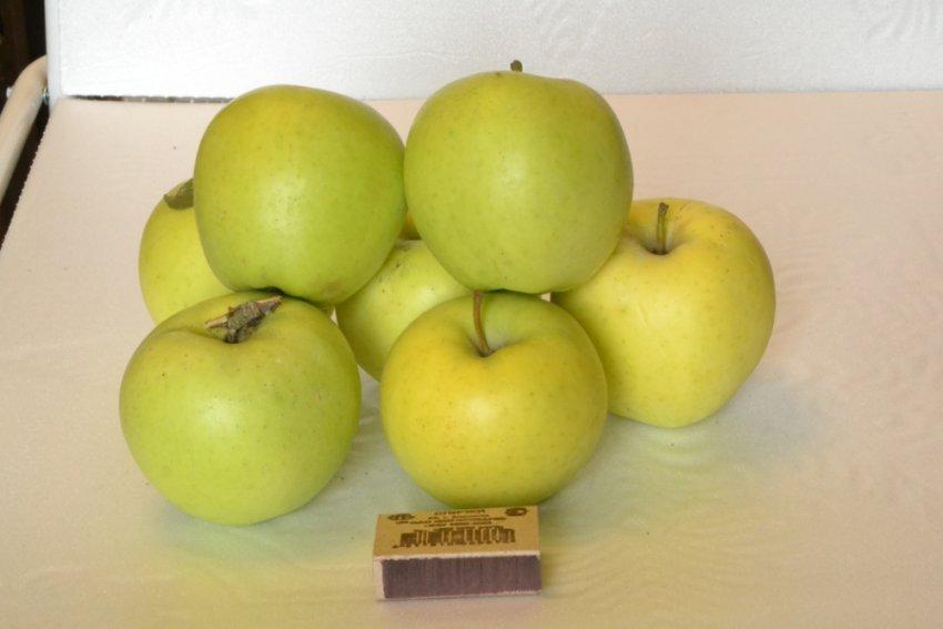 Яблоки сорта Скифское золото