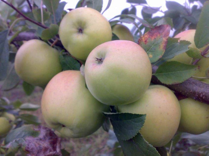 Урожайность яблони сорта Скифское золото