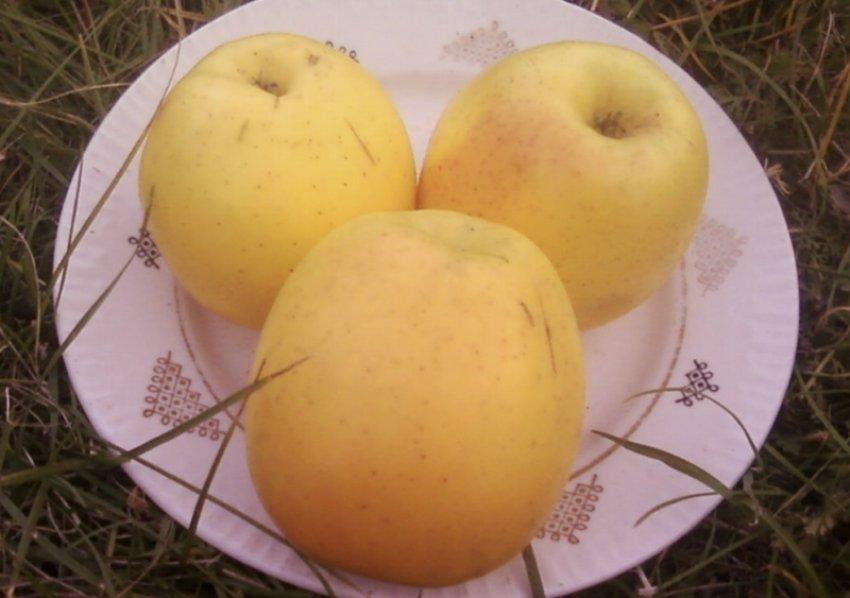 Яблоки Скифское золото