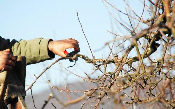 Как обрезать саженец яблони осенью