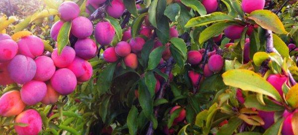 Слива Маньчжурская Чуйская красавица описание сорта