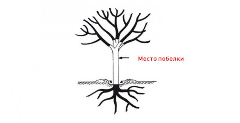 Схема побелки дерева