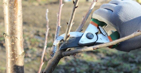 Обрезка яблони осенью для новичков