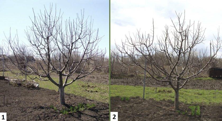 Обрезка плодоносящей яблони