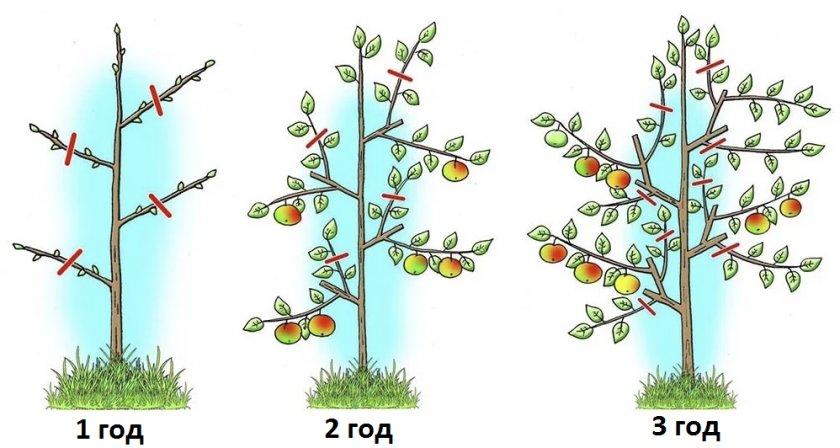 Обрезка карликовой яблони