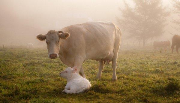Кетоз у коров: симптомы, лечение и профилактика болезни