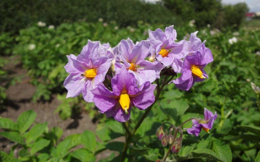 Цветущий картофель на грядке