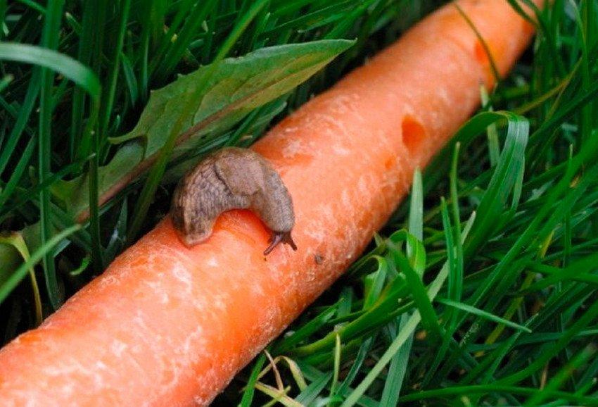 Слизни на моркови