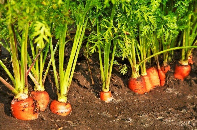 Агротехника выращивания моркови Тушон