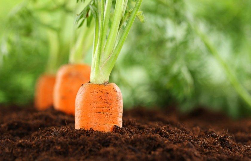 Место под посадку моркови