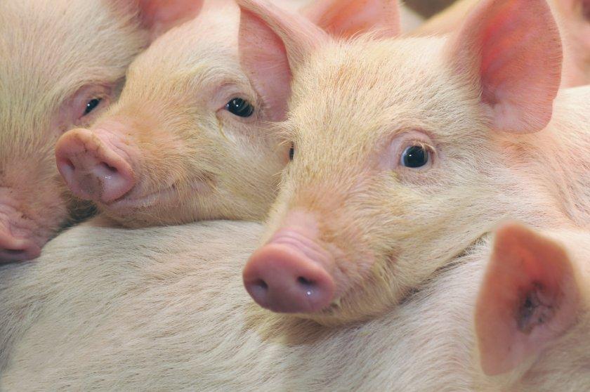 В поле на Волыни обнаружили трупы свиней