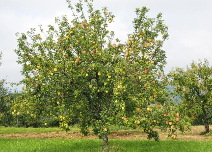 Дерево яблони Снежный кальвиль