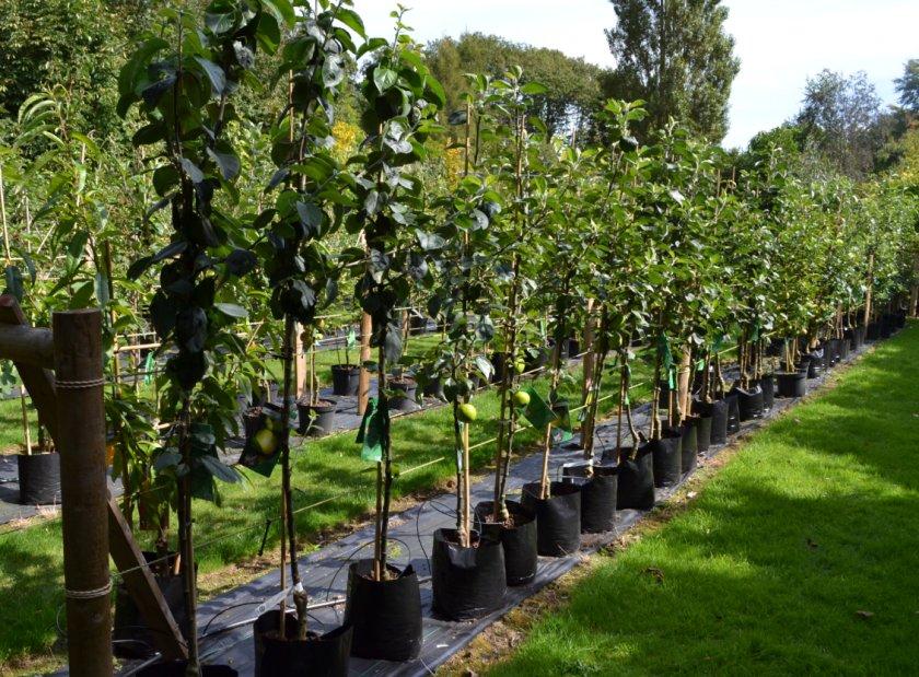 Место для выращивания саженцев яблони