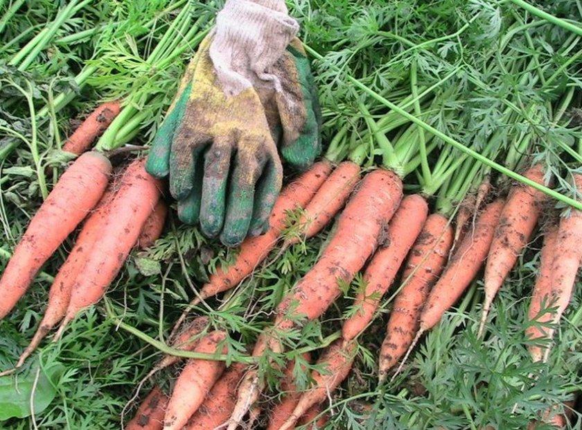 Сорт моркови Витаминная