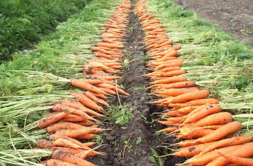 Сбор и просушка моркови