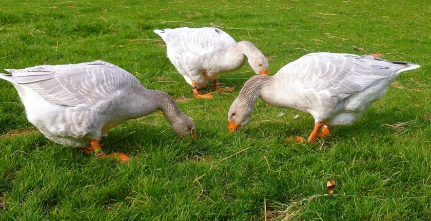 Утки клюют траву