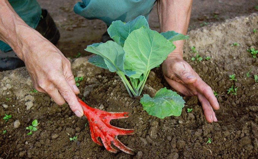 Окучивание кустов капусты