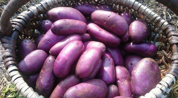 Картошка чугунка характеристика