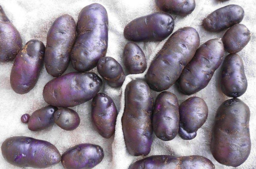 Картофель Цыганка
