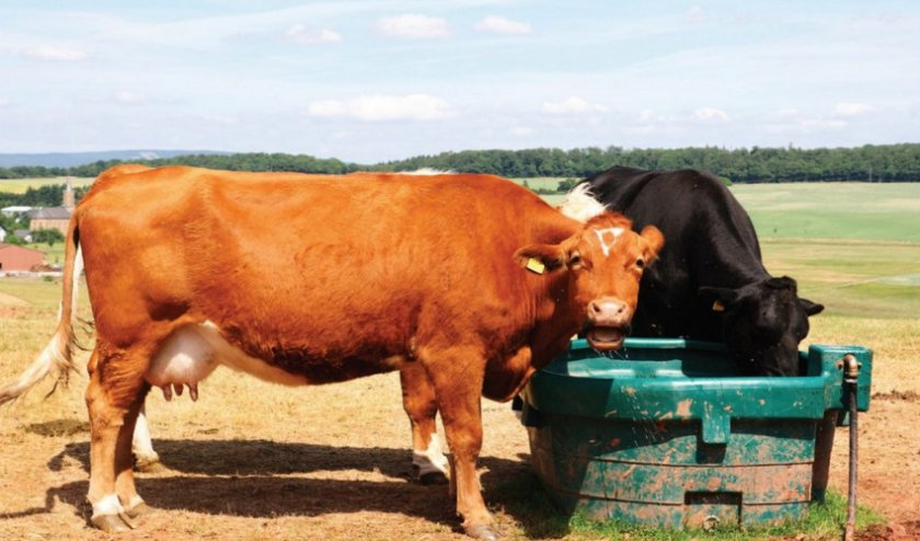 Корова пьет
