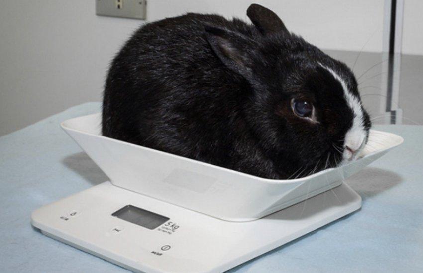 Вес крольчёнка
