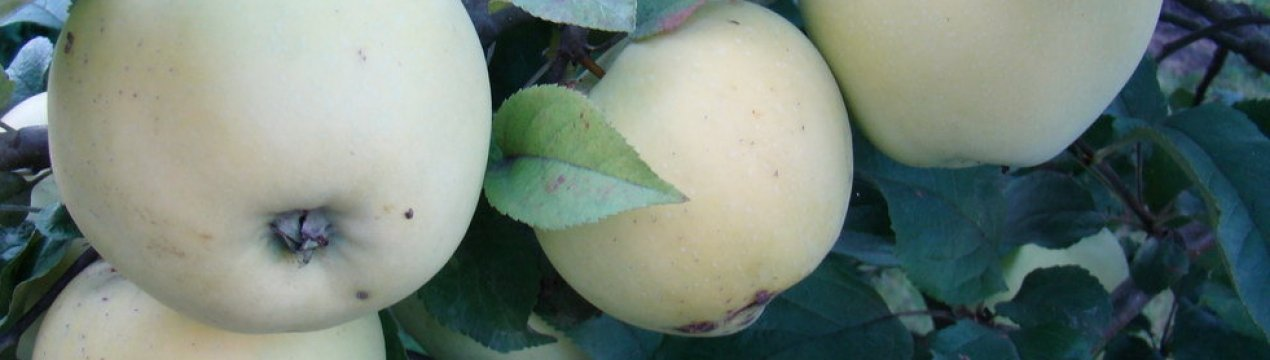 яблоня рижский голубок фото описание вам известно, что