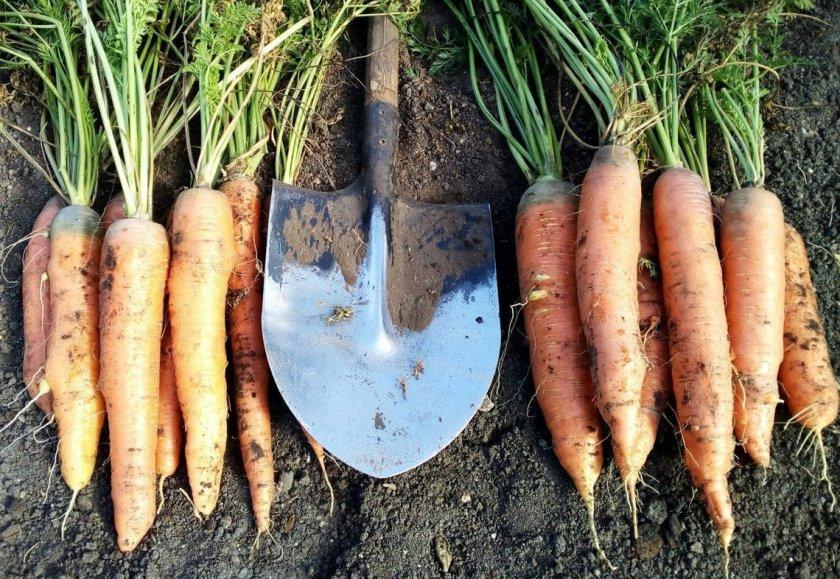 Морковь Санькина любовь