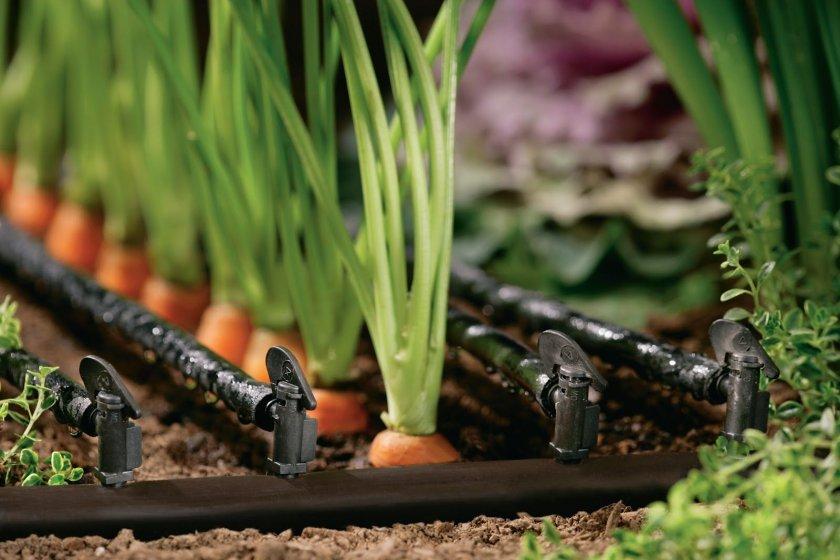 Капельный полив моркови