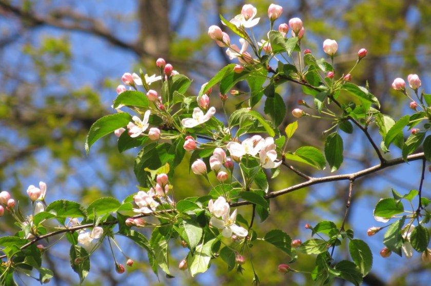 Цветение Ягодной яблони