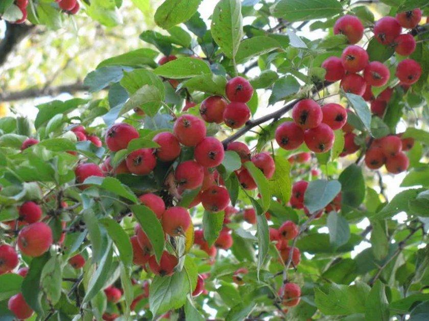 Плоды Ягодной яблони