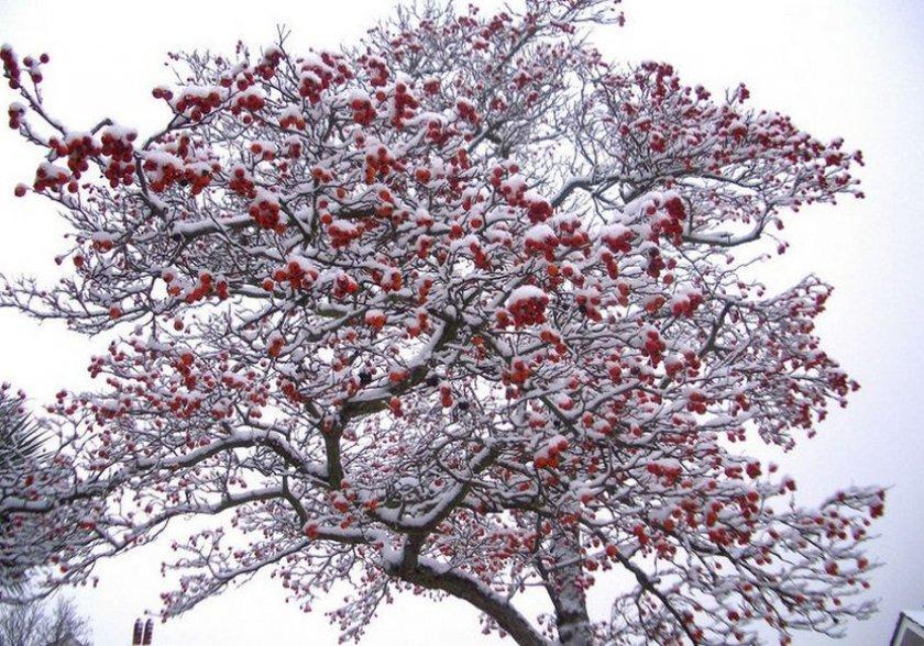Ягодная яблоня зимой